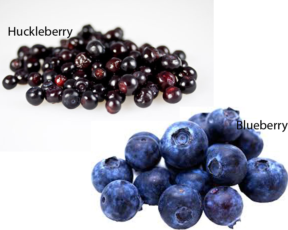 Huckleberry vs Blueberry 1