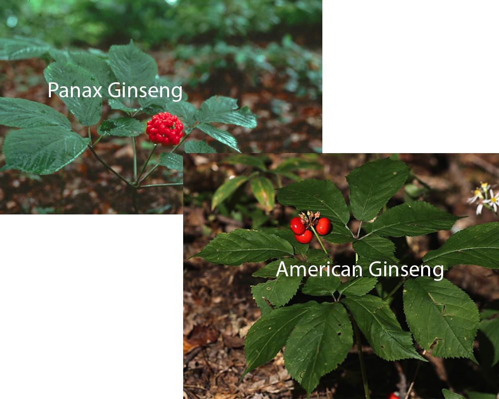 Panax Ginseng vs American Ginseng 2