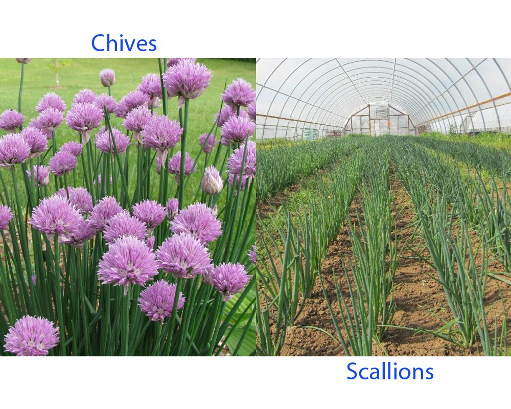 Chives vs Scallions 3
